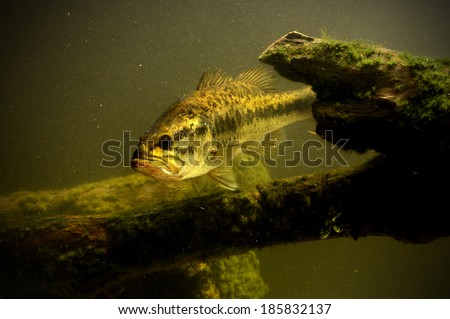 large mouth bass fish in lake swimming - stock photo