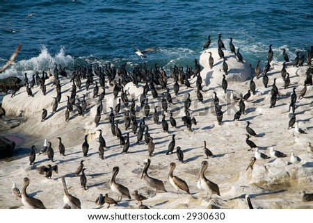 Large number of seabirds gather on the rocks near the La Jolla cove - stock photo