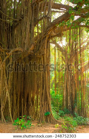 large old trees overgrown with lianas - stock photo
