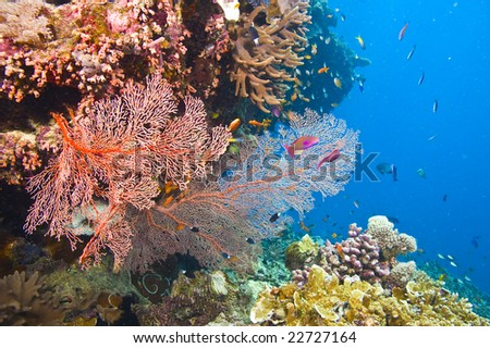 large orange colored gorgonian common sea fans and variety of colorful coral with deep blue water of great barrier reef, australia - stock photo