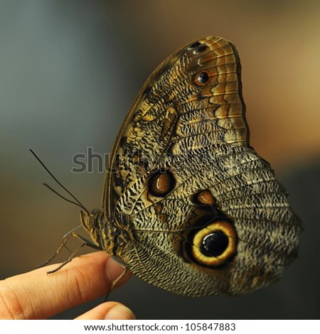 Large Owl Butterfly on a women's hand - stock photo