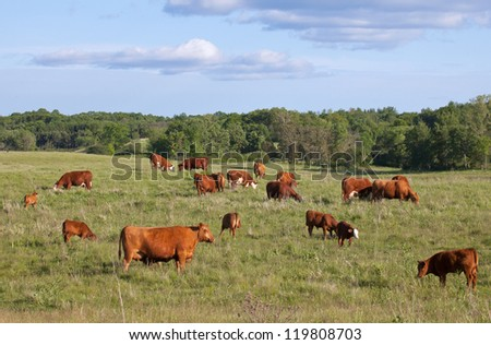 Large pasture with grazing cattle.  Red Angus, Hereford, and calves. - stock photo