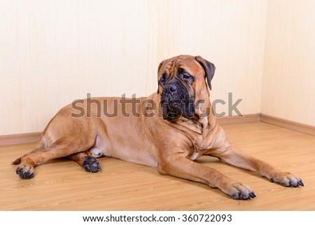 large pet dog bullmastiff lying on the floor - stock photo