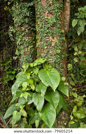 Large Philodendron plants in Hawaiian tropics - stock photo