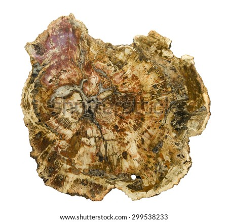 Large piece of polished, fossilized wood, isolated on white. 25cm across. - stock photo