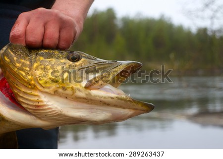 large pike in the shallows of rivers - stock photo