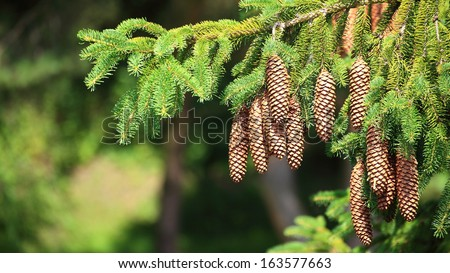 Large Pine Cones hanging on a Tree branch nature - stock photo