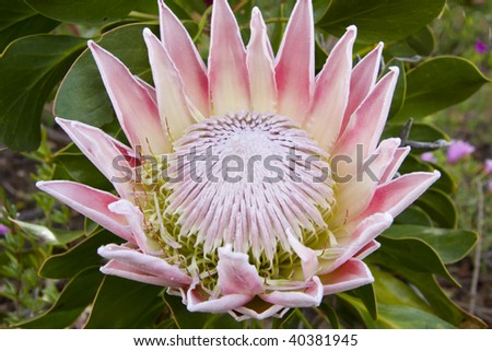 large pink and white protea flower in full bloom - stock photo
