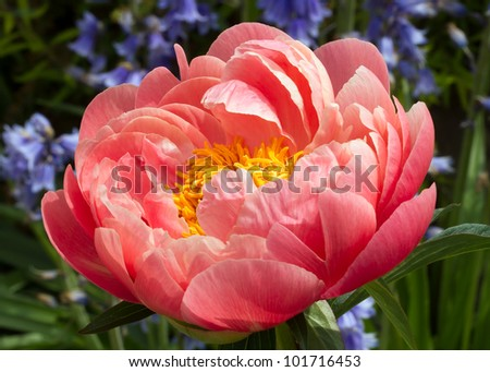 Large pink peony with bright yellow center backed by blue flowers and greenery - stock photo