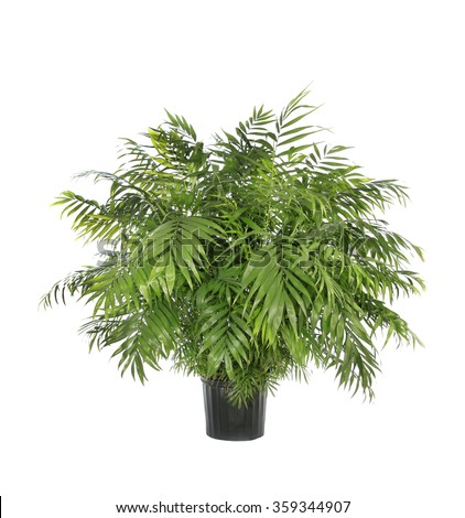 Large Potted Neamthabella Palm Isolated on White - stock photo