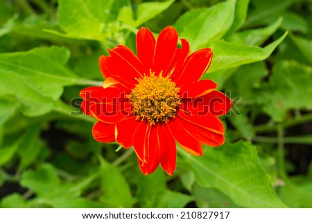 Large red daisy flower on park - stock photo