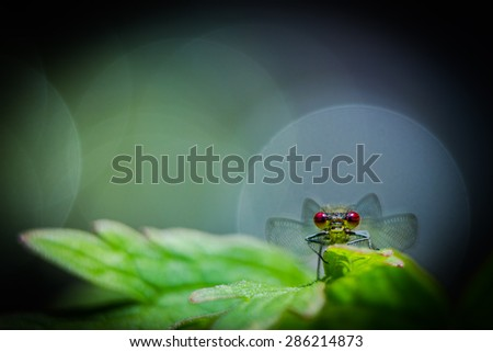 Large red damselfly close up with little dof - stock photo