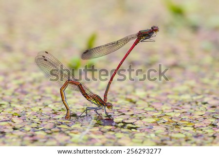 Large red damselfly male holds female by its head in tandem position during egg laying to guard her from rivals - stock photo