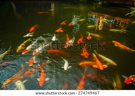 Large red fish in the pond - stock photo