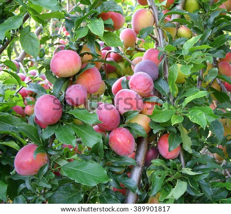 Large ripe plums on the branches - stock photo