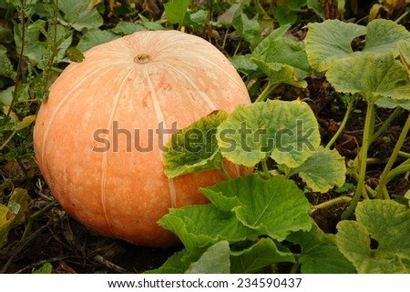 Large Ripe Pumpkin on the Vine. A large, ripe pumpkin in a pumpkin patch. - stock photo