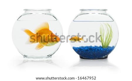 Large ryukin goldfish eyeing small comet-tail goldfish's nicer fish bowl. - stock photo