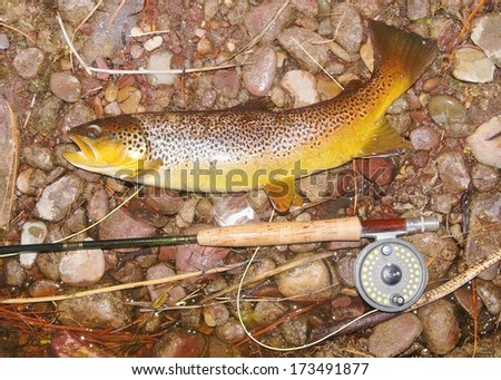 Large salmonid fish and fly rod - stock photo