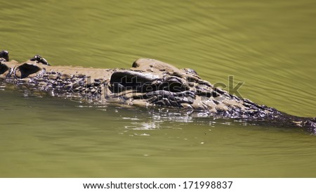 Large saltwater crocodile floating in Kakadu National Park, Australia. - stock photo
