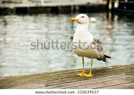 large seagull standing on the pier - stock photo