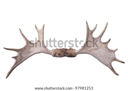 Large set of moose antlers isolated on white background front view - stock photo