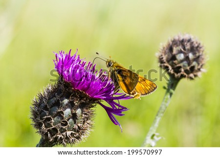 Large Skipper Butterfly feeding on a thistle - stock photo
