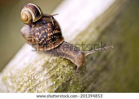 Large Snail carrying small snail on her back in the garden in summer - stock photo