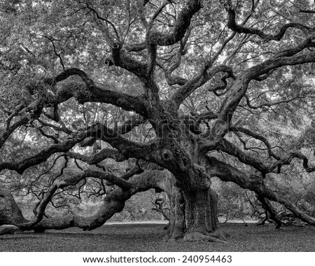 Large southern live oak (Quercus virginiana) near Charleston, South Carolina, soft focus - stock photo