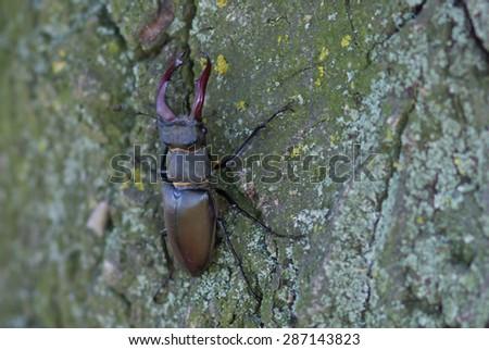 large stag beetle climbs a tree. Ukraine - stock photo