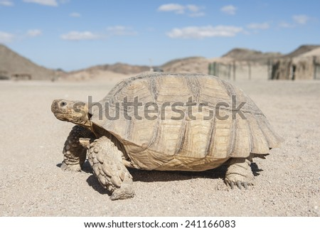 Large tortoise reptile walking on sandy ground through an arid desert landscape - stock photo