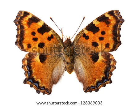 Large Tortoiseshell (Nymphalis polychloros) - stock photo