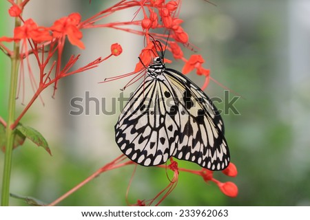Large Tree Nymphs butterfly and flowers,a beautiful butterfly on the red flowers,Paper Kite butterfly,Rice Paper butterfly  - stock photo