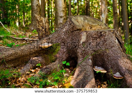 Large tree stump in the forest - stock photo