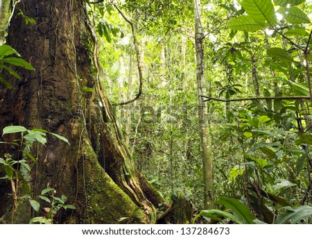 large tree with buttress roots in primary tropical rainforest, Ecuador - stock photo
