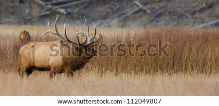 Large Trophy Rocky Mountain Elk in grassland prairie meadow, panorama / panoramic; Madison River Valley, Yellowstone National Park - stock photo