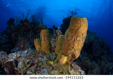 Large tube sponges are one of the major components of many Caribbean reefs. Sponges are the world's simplest multicellular animals and are ecologically important filter feeders. - stock photo