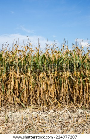 Large view at the corn field summer - stock photo