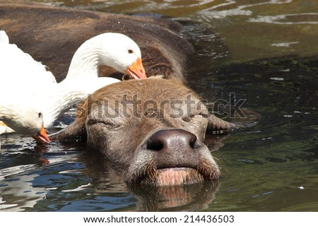 Large water buffalo enjoys a bath with geese cleaning him - stock photo