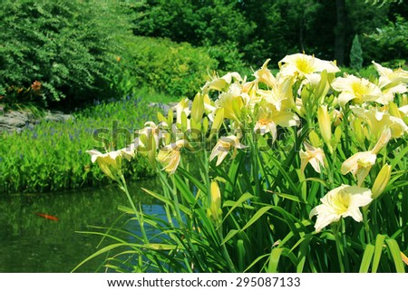 Large water lilies near a pond - stock photo