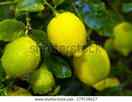 large wet in water drops after rain yellow lemons hanging on a branch with green leaves - stock photo