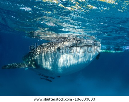 Large whale shark with remora near the surface - stock photo