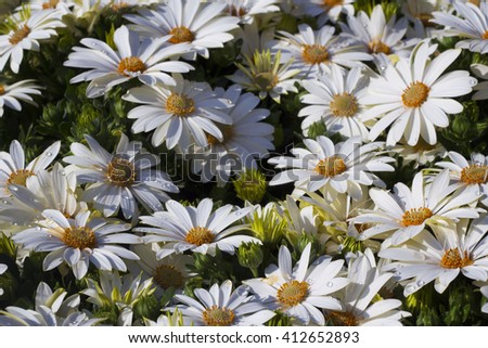 large white camomile, pollen on the petals and water drops - stock photo