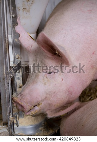 Large white swine (Yorkshire pig) feeding from plastic hog feeder on ranch - stock photo
