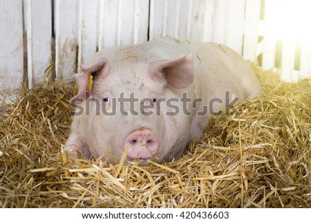 Large white swine (Yorkshire pig) lying on straw in pen with white wooden fence in background - stock photo