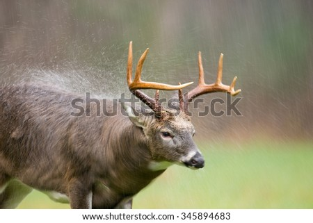 Large white-tailed deer buck shaking off rain in an open meadow during a rain storm in Smoky Mountain National Park. Motion blur from slow shutter speed - stock photo