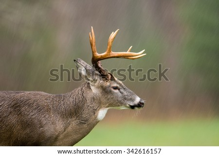 Large white-tailed deer buck standing in an open meadow during a rain storm in Smoky Mountain National Park - stock photo