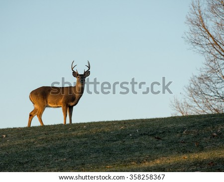 Large white-tailed deer buck standing on a hillside in Jefferson Barracks National Cemetery near St. Louis, Missouri. - stock photo