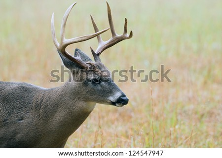 Large white-tailed deer buck walking through a meadow in Smoky Mountain National Park - stock photo