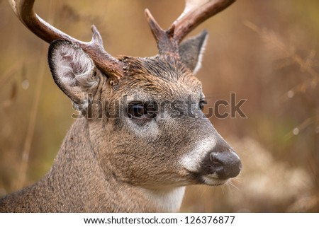 Large white-tailed deer buck walking through heavy brush in Smoky Mountain National Park - stock photo