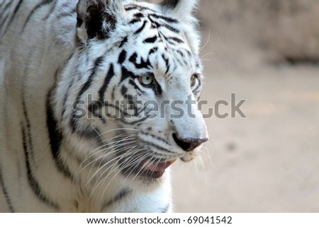 large white tiger looking for something to eat - stock photo